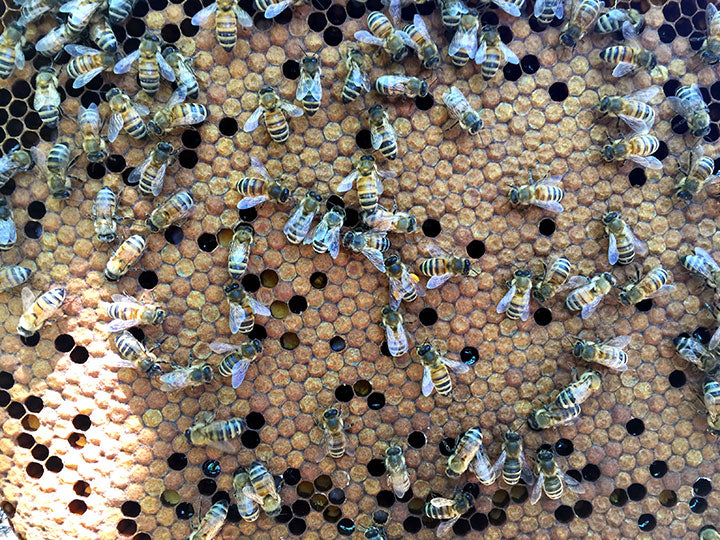 Capped_brood_comb_darker_with_bees
