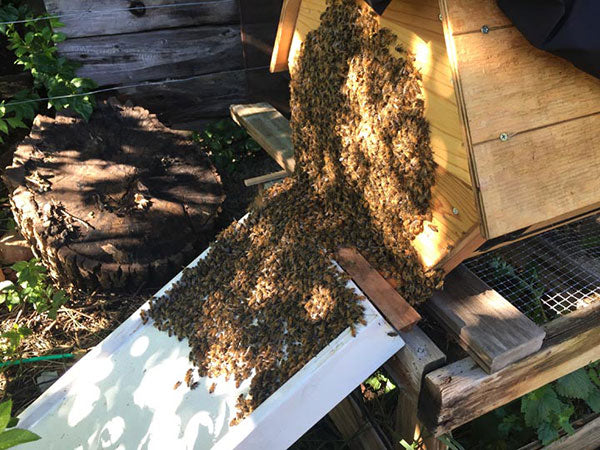 Cathedral-Hive-installing-bees-walk-in