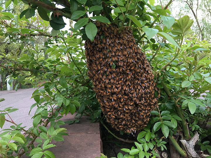 Honey-Bee-Swarm-Removal-Colorado-phone-number