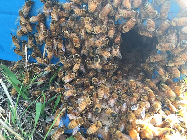Honey-Bee-Swarm-Removal-box-bees-entering
