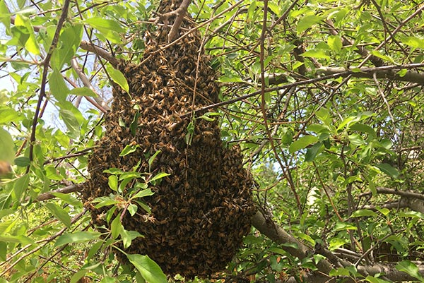 Honey-Bee-Swarm-catching-bees-tree