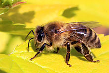 Honey-bee-identification