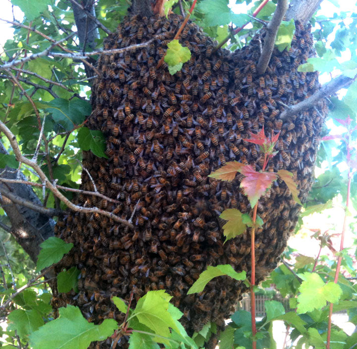 Honey-Bee-Swarm-Removal-On-Tree-Branch
