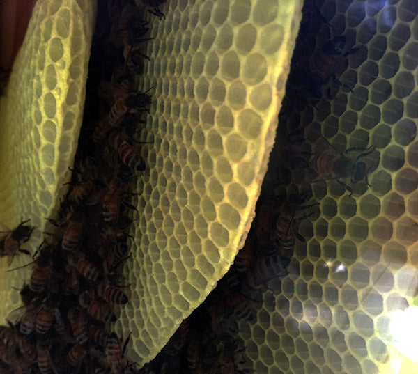 Honeybees-Cluster-in-combs-top-bar-hive-winter
