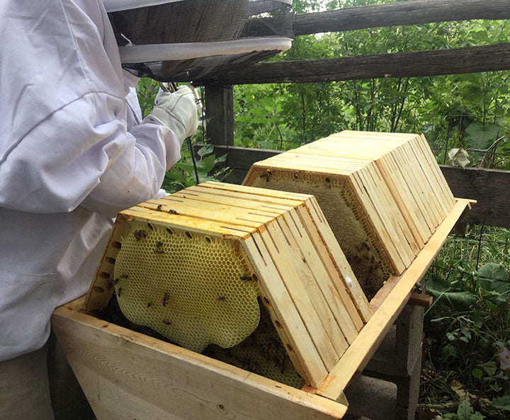 Bee Guardian beekeeper harvesting combs from The Cathedral Hive