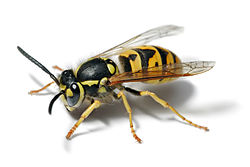 Yellow-Jacket-Wasp