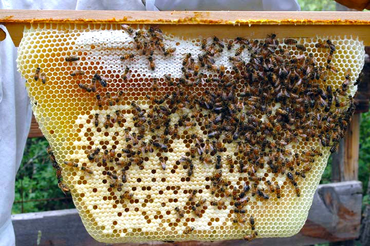 Hive comb with various capped brood capped and uncapped honey