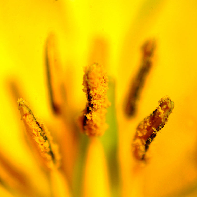 pollen on yellow tulip stamens