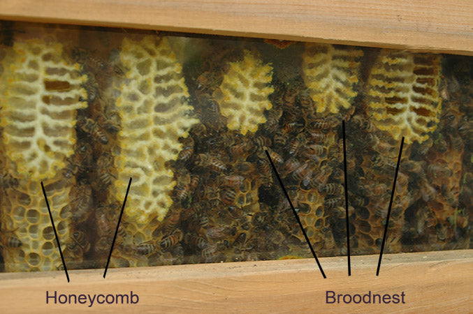 combs attached to window of top bar hive