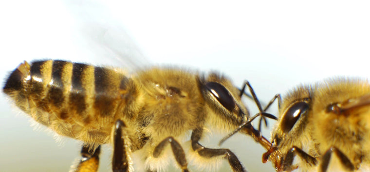 extreme closeup honey bees feeding each other
