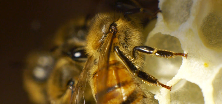extreme closeup honey bees inside hive