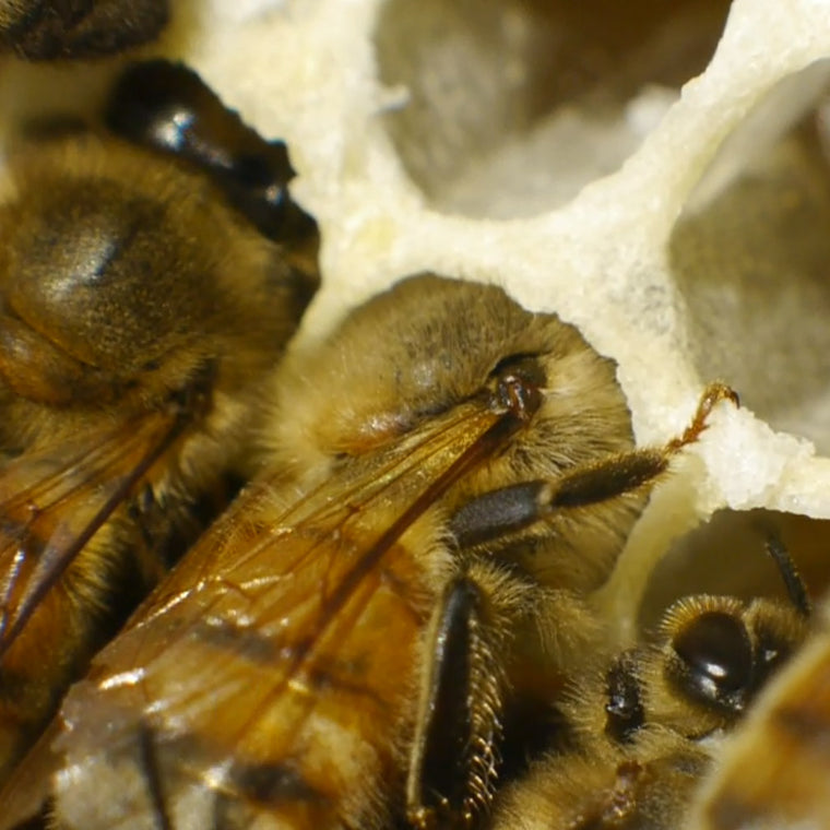 extreme closeup honey bees in cell