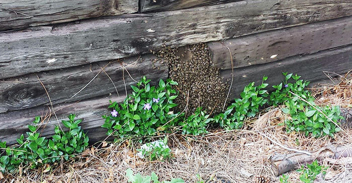 honey-bees-in-retaining-wall-