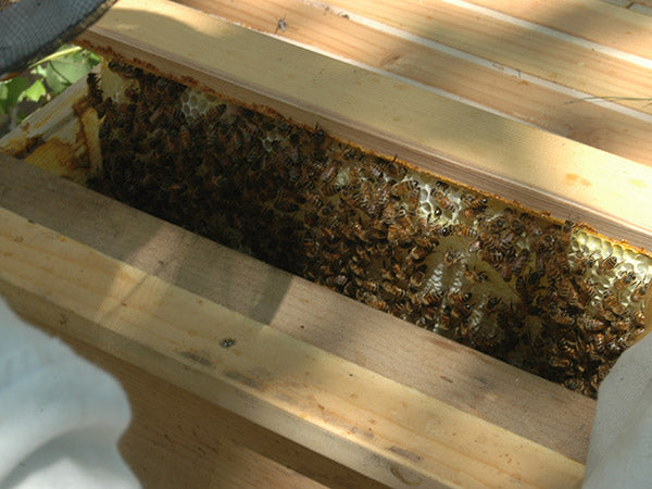 honey-comb-inspection-pull-from-hive