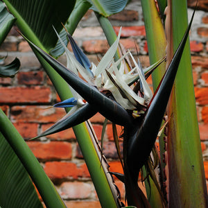 Strelitzia nicolai 'White Bird of Paradise'