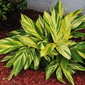 Alpinia zerumbet  'Variegated Shell Ginger'