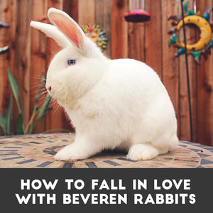 How to fall in love with Beveren rabbits