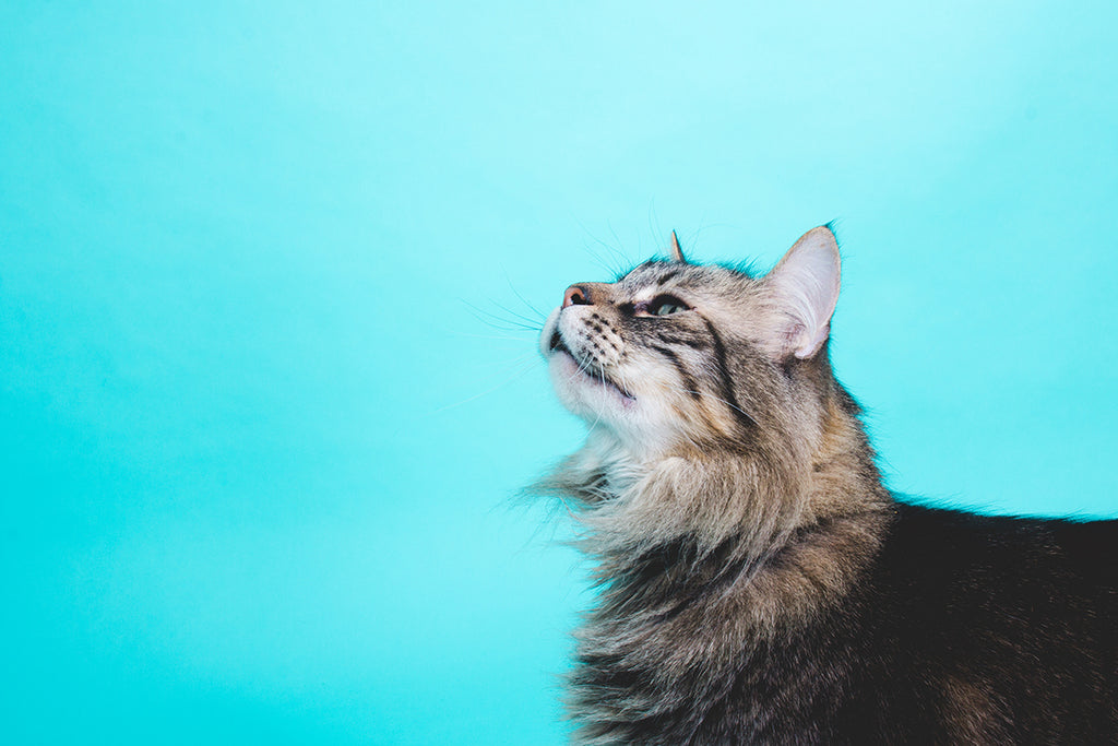 maine coon cat looking up studio photography