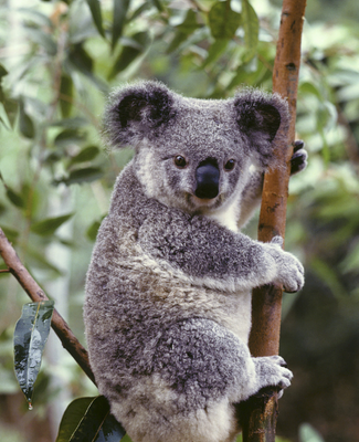 Why Women and Koala Bears Have So Much in Common