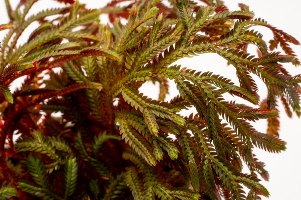 Selaginella Erythropus Sanguinea Red Club Moss Easy Terrarium Plant