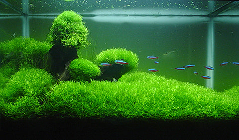 Shop Riccia Fluitans Aquatic Plants - Glass Aqua