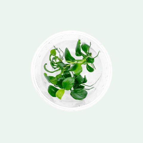 Shop Anubias Nana Petite Tissue Culture Aquatic Plants - Glass Aqua