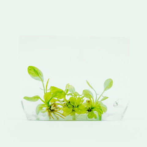 Shop Anubias Nana Variegated Aquatic Plants - Glass Aqua