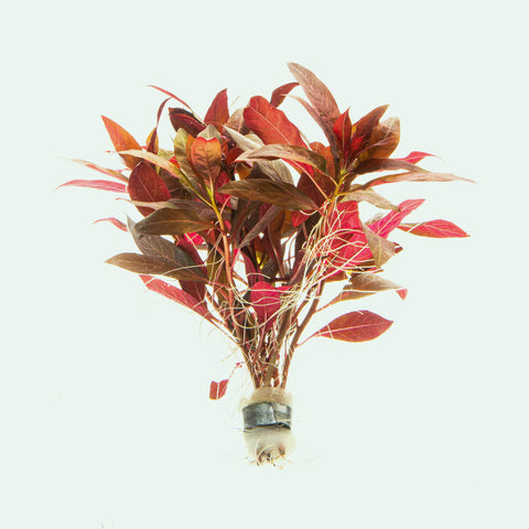 Alternanthera Reineckii Easy Red Aquatic Aquarium Plant