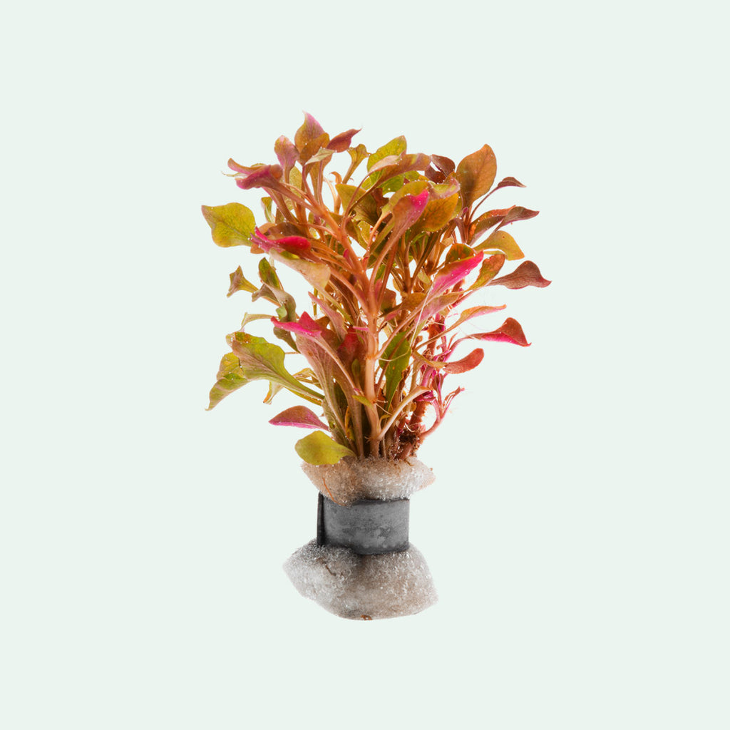 Shop Alternanthera Bettzickiana Aquatic Plants - Glass Aqua