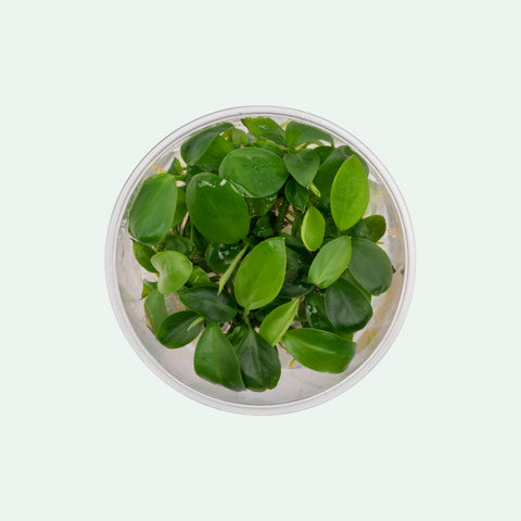 Shop Anubias Barteri Aquatic Plants - Glass Aqua