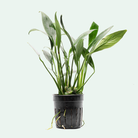 Shop Anubias Congensis Mini Aquatic Plants - Glass Aqua
