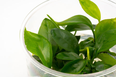 Shop Anubias Gabon Aquatic Plants - Glass Aqua