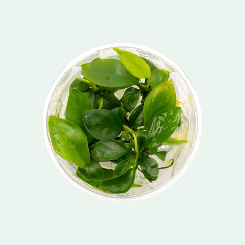 Anubias Gabon Tissue Culture Easy Beginner Aquatic Aquarium Plant