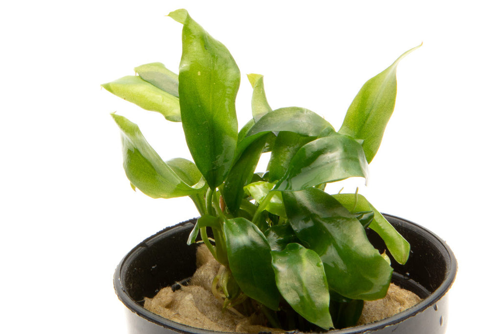 Shop Anubias Minima Mini Aquatic Plants - Glass Aqua