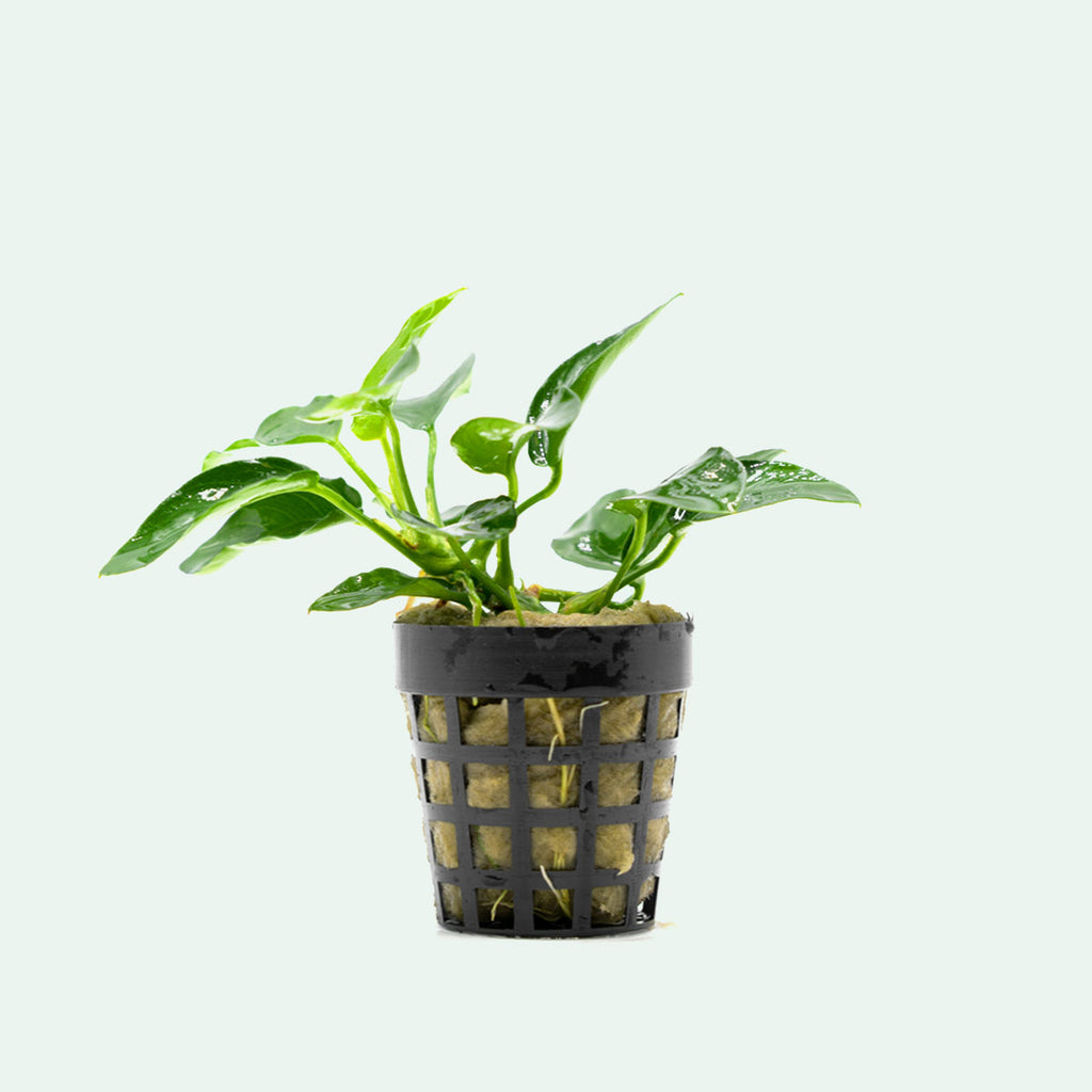 Shop Anubias Nana Bonsai Aquatic Plants - Glass Aqua