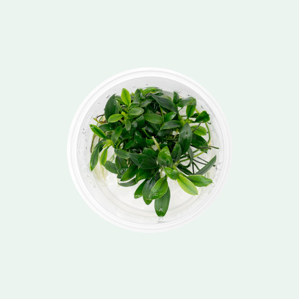 Shop Anubias Nana Pangolino Aquatic Plants - Glass Aqua