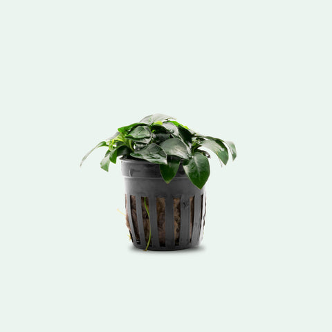 Shop Anubias Nana Petite Aquatic Plants - Glass Aqua