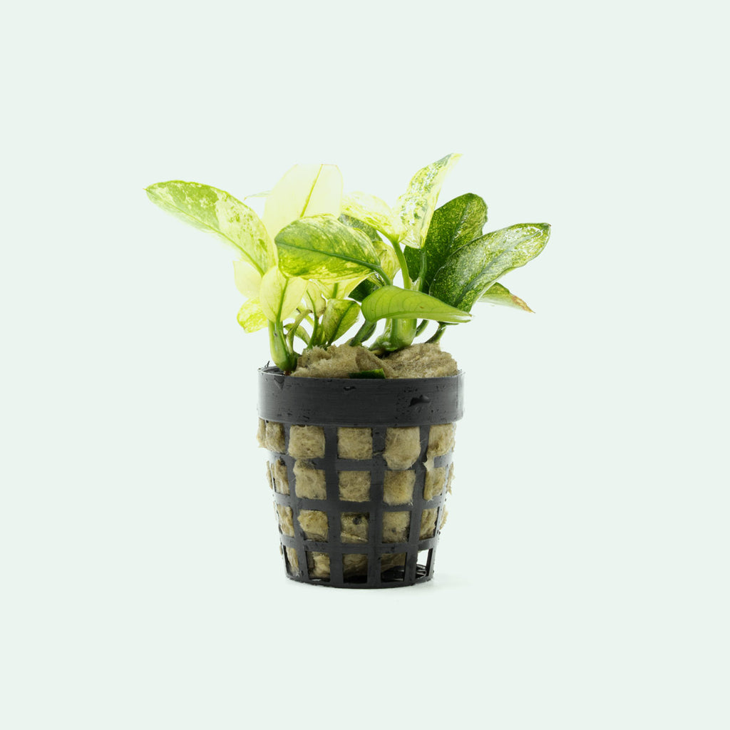 Shop Anubias Nana Pinto Aquatic Plants - Glass Aqua