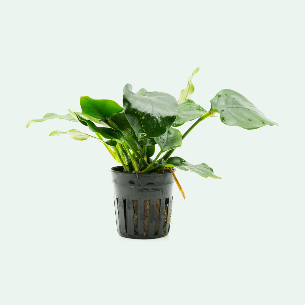Shop Anubias Nana Thick Leaf Aquatic Plants - Glass Aqua