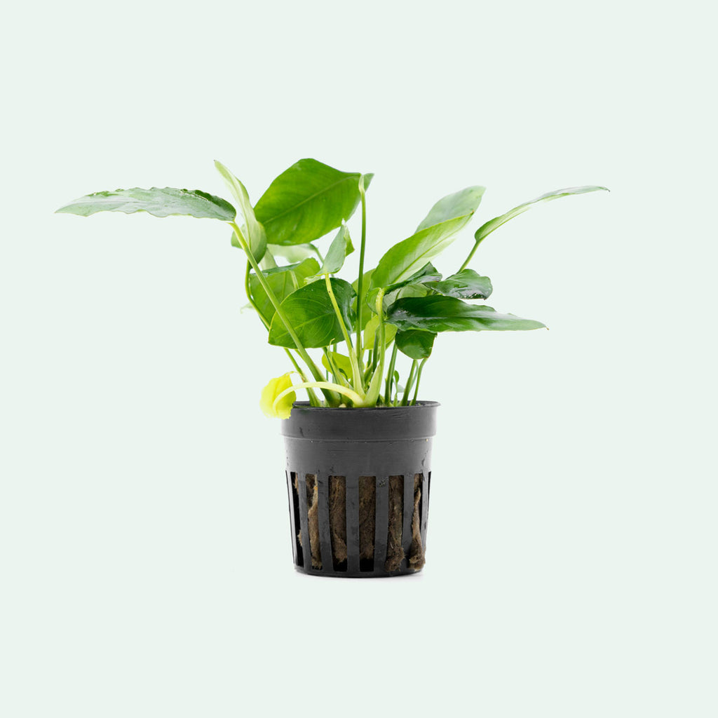 Shop Anubias Paxing Aquatic Plants - Glass Aqua