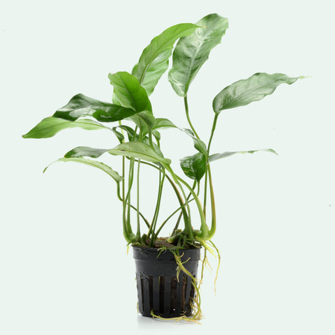 Shop Anubias Short and Sharp Aquatic Plants - Glass Aqua