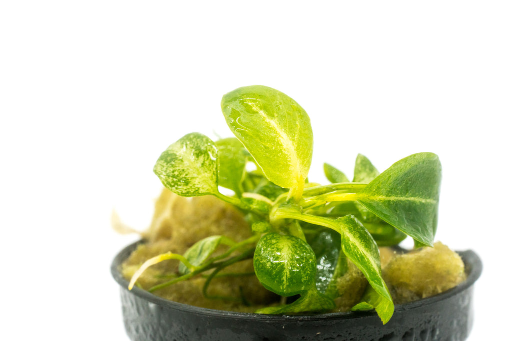Shop Anubias Stardust Aquatic Plants - Glass Aqua