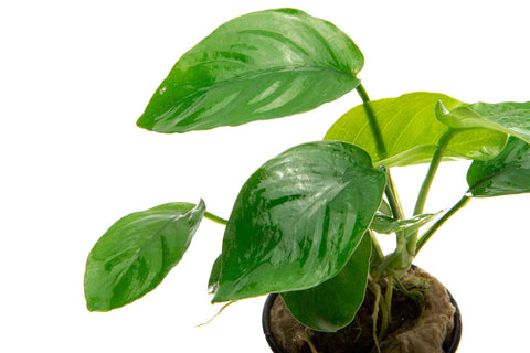 Anubias Barteri Butterfly Easy Beginner Aquarium Plant