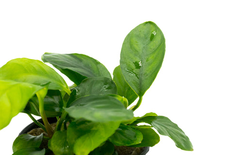 Shop Anubias Barteri Coffeefolia Aquatic Plants - Glass Aqua
