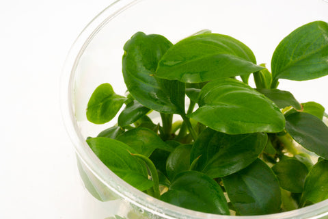 Shop Anubias Heterophylla Aquatic Plants - Glass Aqua