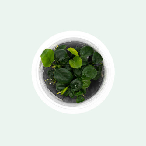 Shop Anubias Nangi Aquatic Plants - Glass Aqua