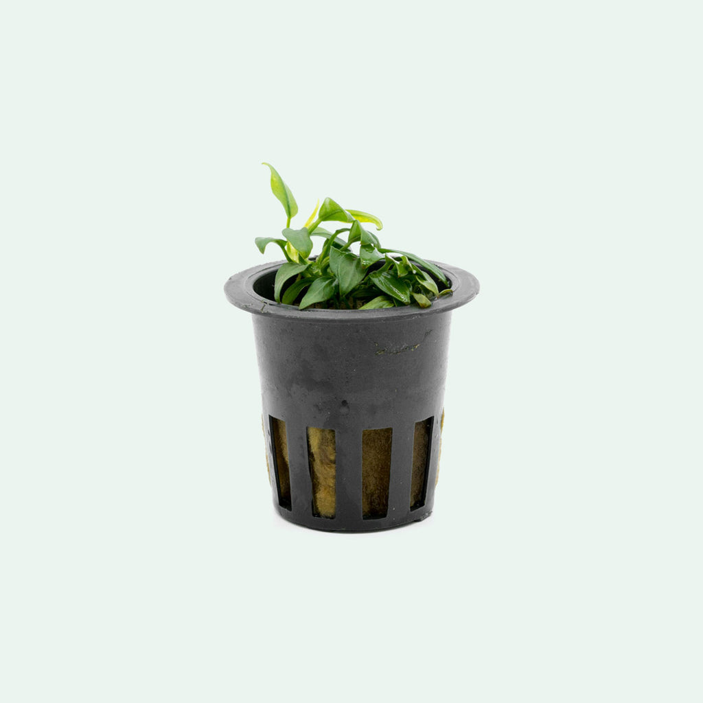 Shop Anubias Chili Aquatic Plants - Glass Aqua