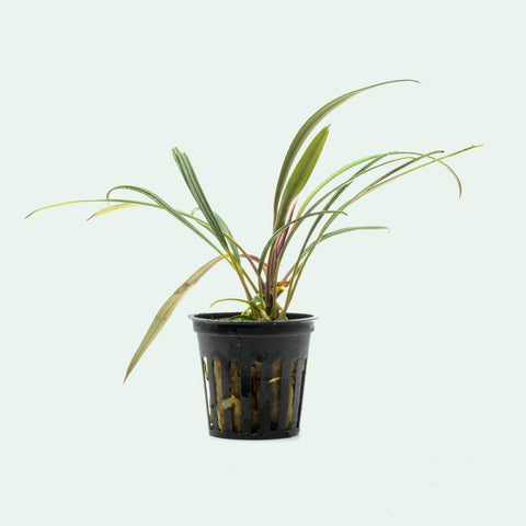 Shop Aridarum Narrow Aquatic Plants - Glass Aqua