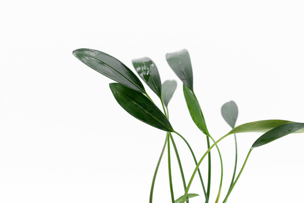 Shop Aridarum Caulescens White Fang Aquatic Plants - Glass Aqua