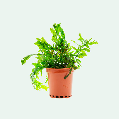 Shop Bolbitis Heudelotii Aquatic Plants - Glass Aqua